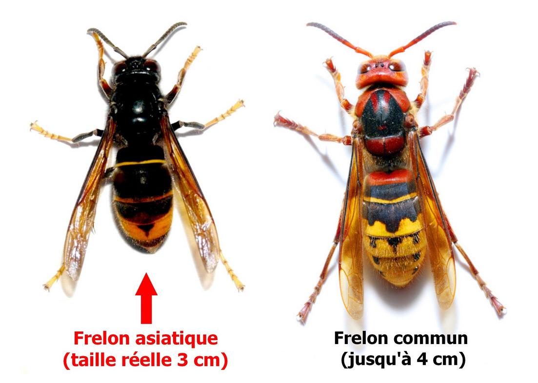 Lutte contre le frelon asiatique – Amanlis